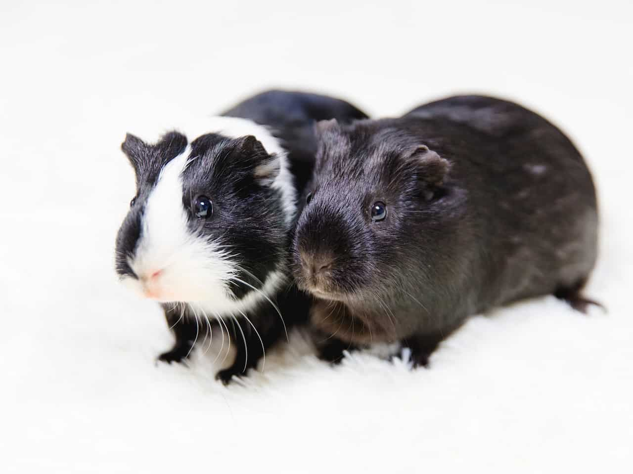 what to feed guinea pigs
