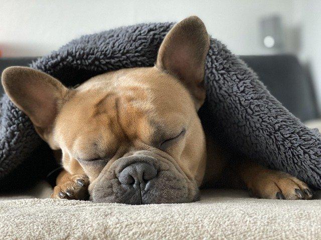 french bulldog health